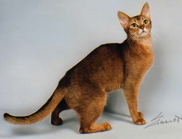 Breed Comparisons - Abyssinian | World Cat Congress
