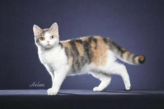 Breed Comparisons - American Wirehair | World Cat Congress