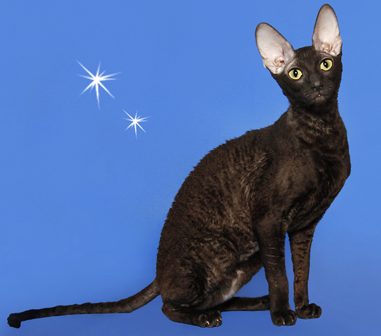 Chinese Blue Cat
