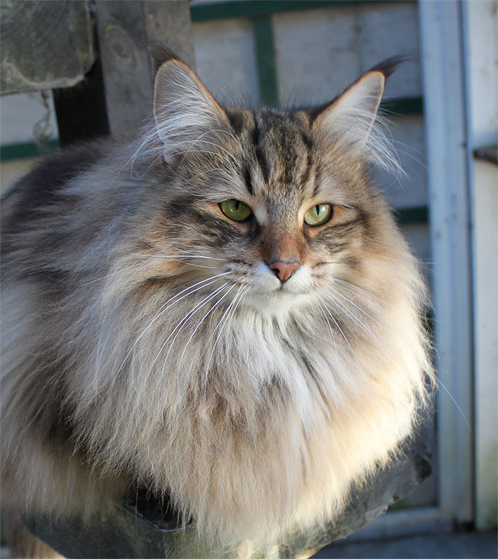 april 13th   cat week day 2   norwegian forest cats