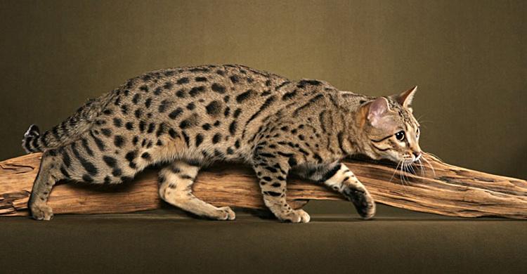 breed comparisons ocicat world cat congress