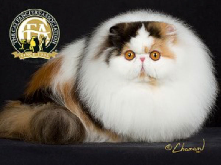 CFA's Cat of the Year was GC, BW, NW Belamy's Desiderata of Cinema, a Calico female Persian born on June 24, 2012.