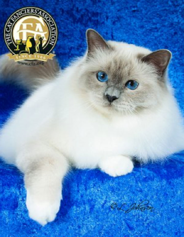 "The Premiership Cat of the Year was GP, NW Sandesox Justsweetness of Whitesox (""Tommy""), a Blue Point Birman neuter born on August 17, 2012."