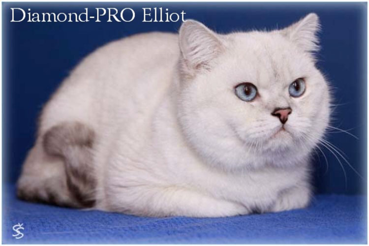 British Shorthair seal silver shaded point - Diamond - PRO Elliot